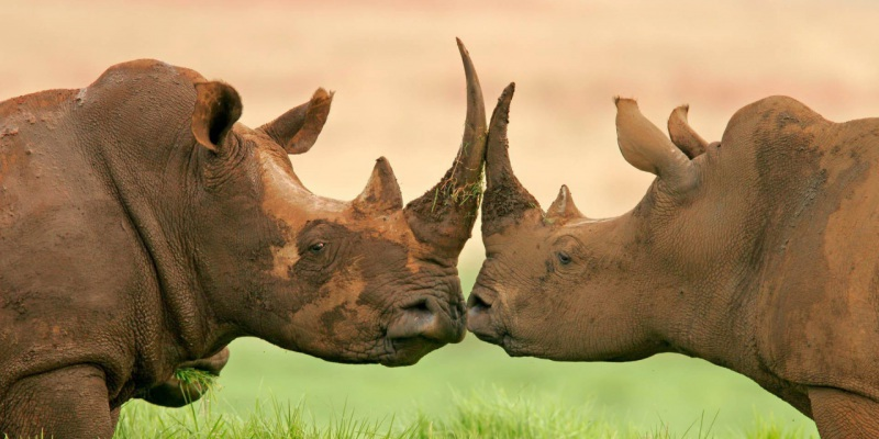 Rhino Preservation in Namibia and How you can be Involved